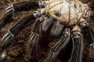 Spider venom may be able to play a key role in identifying new treatments for irritable bowel syndrome. Image: attilatoth via iStock