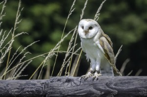 Could analysis of barn owls hearing hold the key to understanding the potential for restoring hearing in humans? Image: Nathanx1 via iStock