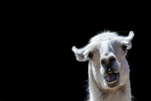 Researchers believe the holy grail of flu vaccines can be developed using llama blood.